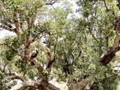 いちじく桑の木